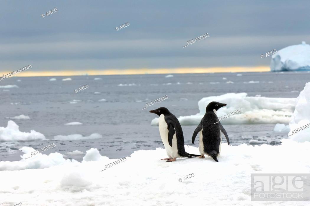 Stock Photo: Adelie Penguins on icefloe, Brown Bluff, Antarctic peninsula / Pygoscelis adeliae / side.