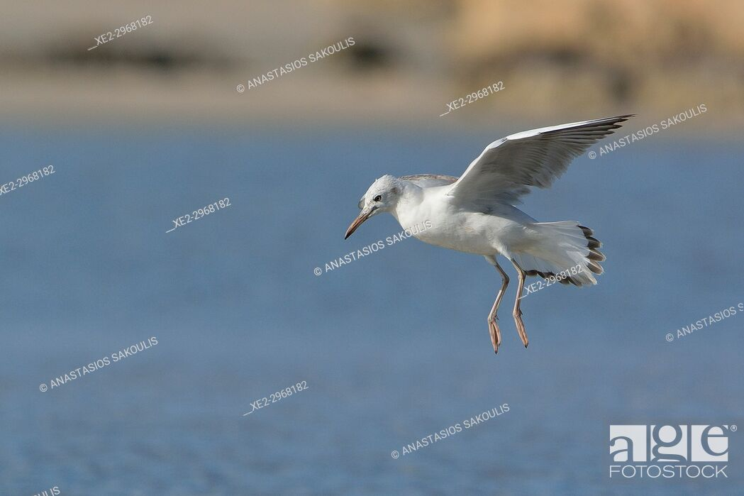 Stock Photo: Slender-billed Gull (Larus genei), Greece.