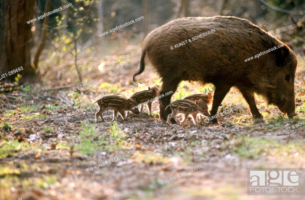 Stock Photo: Wild boars (Sus scrofa). Bavarian Forest. Bavaria, Germany.
