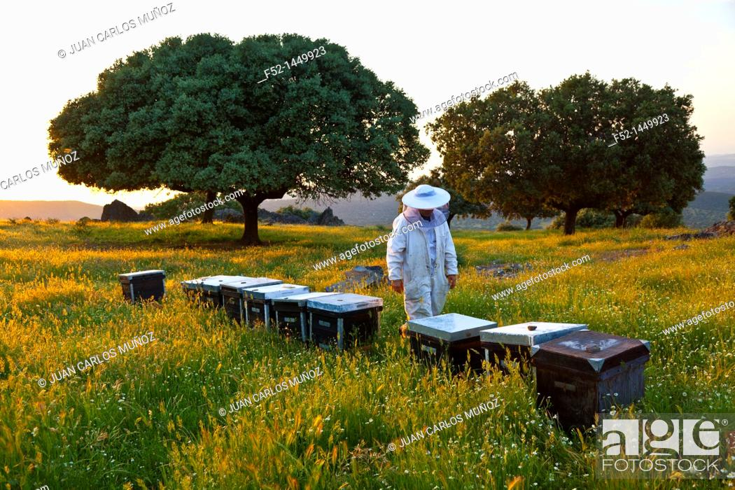 Stock Photo: Beekeeping or apiculture, Garciaz, Las Villuercas, Caceres, Extremadura, Spain, Europe.