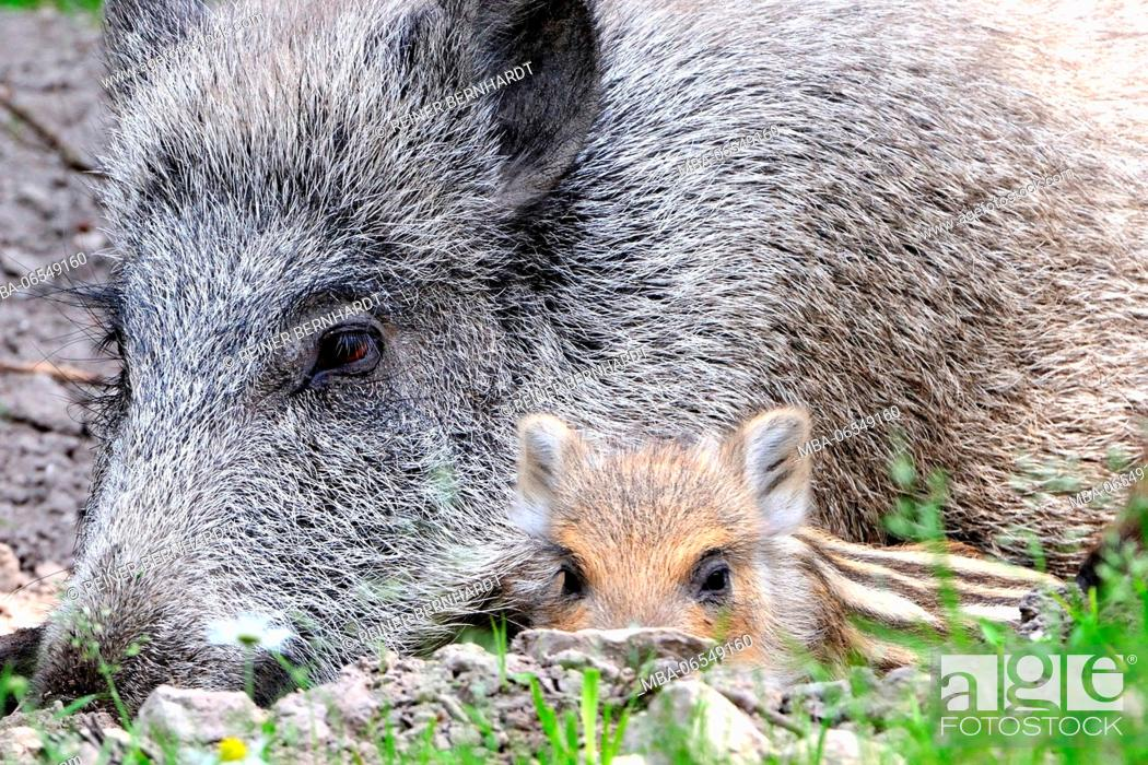 Stock Photo: Wild boar with young, Sus scrofa, close-up.