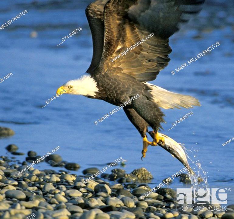 Stock Photo: Bald Eagle catching fish.