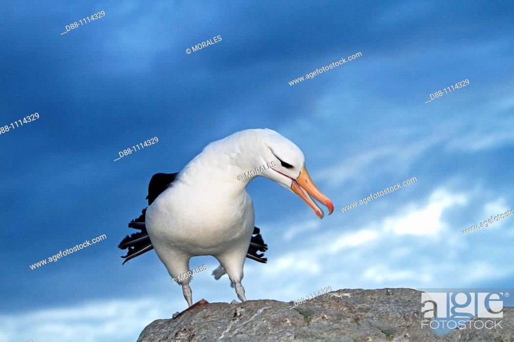 Stock Photo: Black-browed Albatross (Thalassarche melanophrys). Steeple Jason, Falkland Islands.