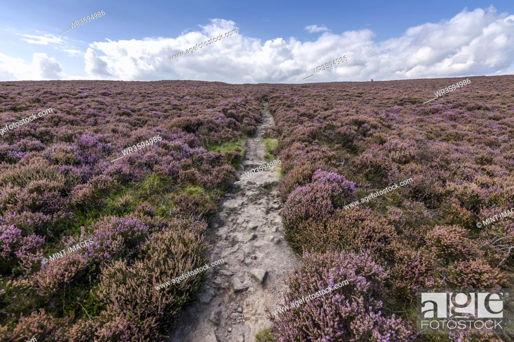Imagen: A footpath across the high moors of the Peak District National Park. Purple flowering heather.