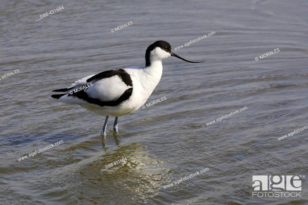 Stock Photo: Avocet (Recurvirostra avosetta).