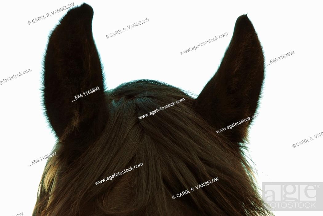 Stock Photo: 'I'm all ears' - closeup of head of black stallion.