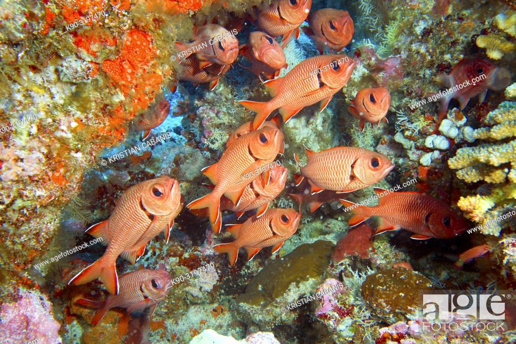 Stock Photo: School of Blotcheye soldierfishes (Myripristis murdjan) at a colorful reef wall, Indian Ocean, Maledives, South Asia.