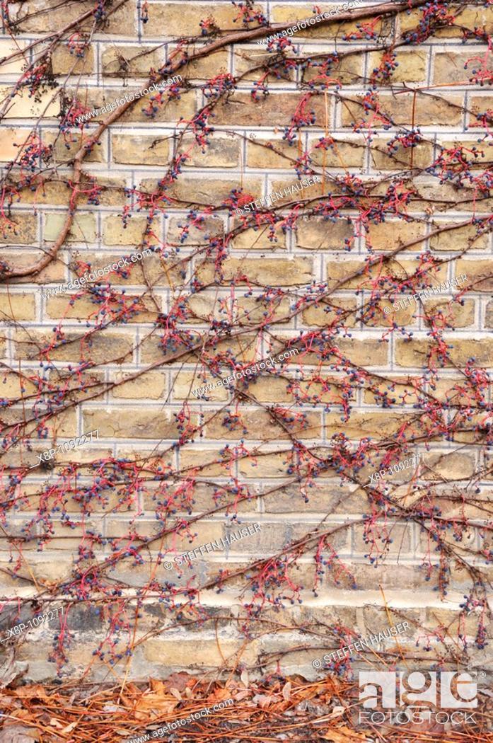 Stock Photo: Japanese creeper Parthenocissus tricuspidata.