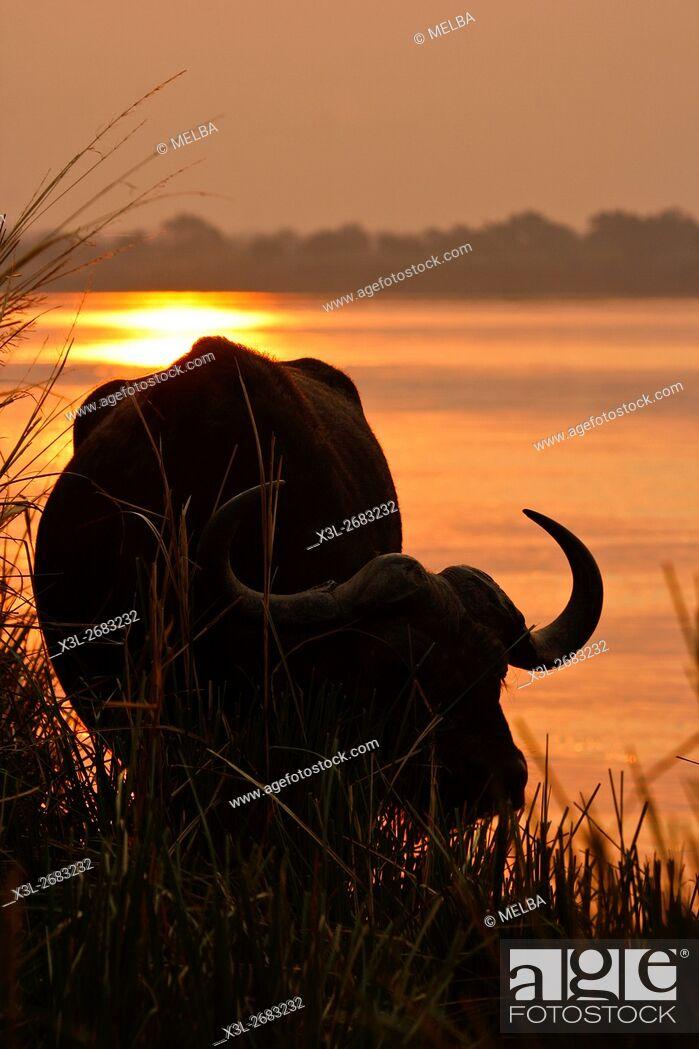 Stock Photo: African Buffalo in Zambezi river, Syncerus caffer. Mana Pools National Park. Zimbabwe.