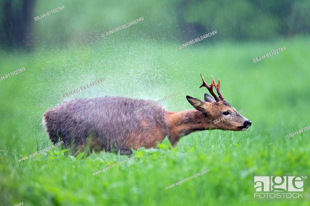 Stock Photo: Western Roe Deer (Capreolus capreolus). Roebuck stands in pouring rain on a meadow and shakes the water out of its fur. Germany.