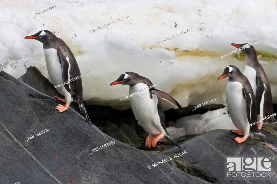 Imagen: Adult gentoo penguins Pygoscelis papua returning and coming from the sea at Booth Island, Antarctica, Southern Ocean.
