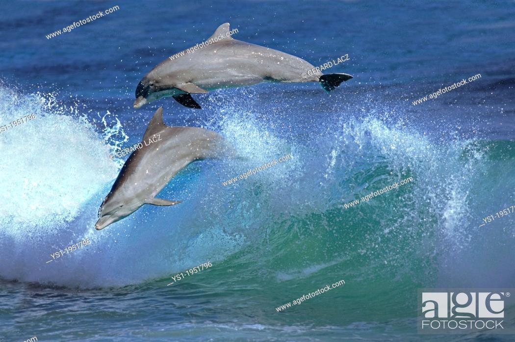 Stock Photo: Bottlenose Dolphin, tursiops truncatus, Pair Leaping in Waves, Honduras.
