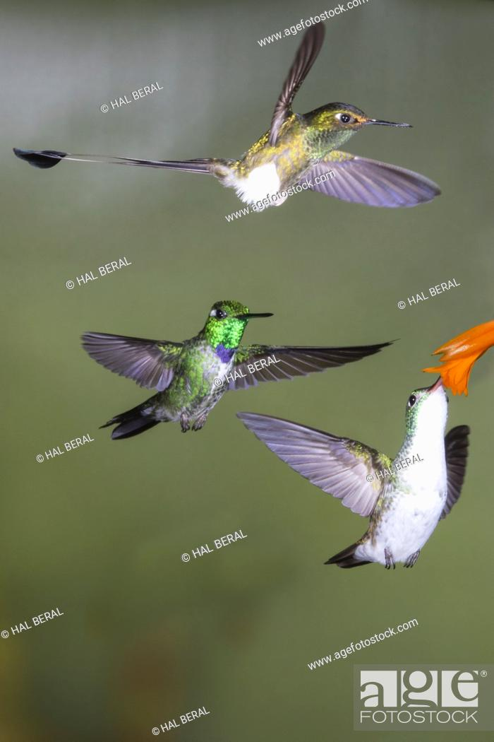 Stock Photo: Andean Emerald Hummingbird feeding with Booted Rackettail and Purple-Bibbed Whitetip Hummingbirds male flying (Amazilia franciae.