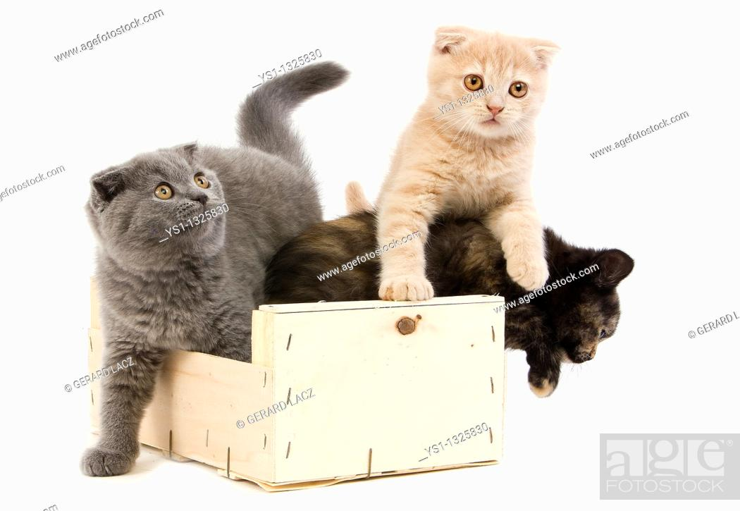 Stock Photo: BLACK TORTOISE-SHELL BRITISH SHORTHAIR WITH BLUE AND CREAM SCOTTISH FOLD KITTENS 2 MONTHS OLD, PLAYING IN BASKET.