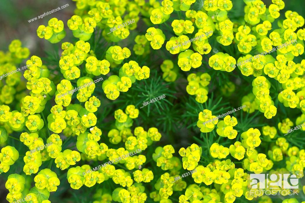 Stock Photo: Cypress spurge (Euphorbia cyparissias), Bavaria, Germany.