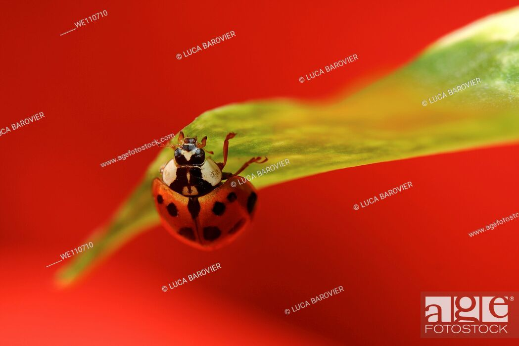 Stock Photo: Coccinella - Ladybug with red background.
