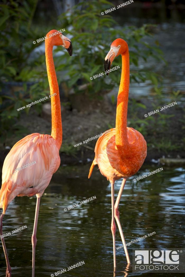 Stock Photo: American Flamingos (Phoenicopterus Ruper) in pond at Everglades Wonder Garden, Bonita Springs, Florida, USA.