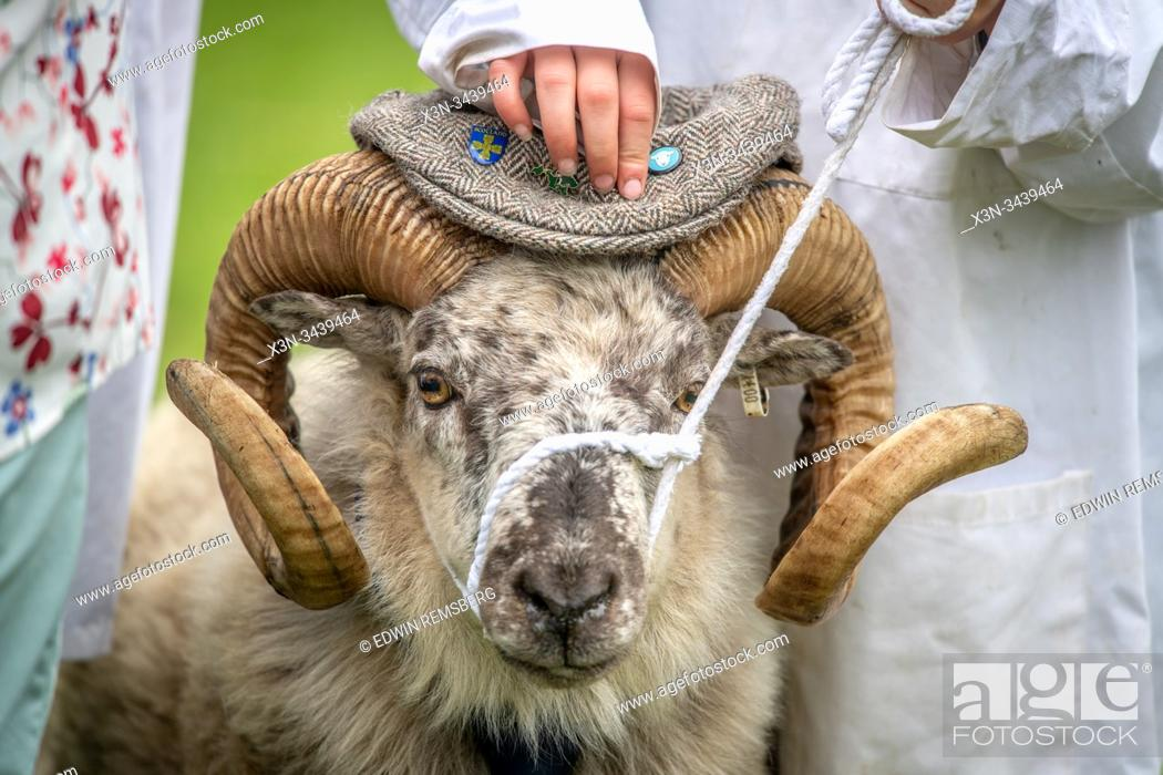Stock Photo: Exhibitors hold onto their sheep as the judges make their rounds, The Great Yorkshire Show, Harrogate, Yorkshire, UK.