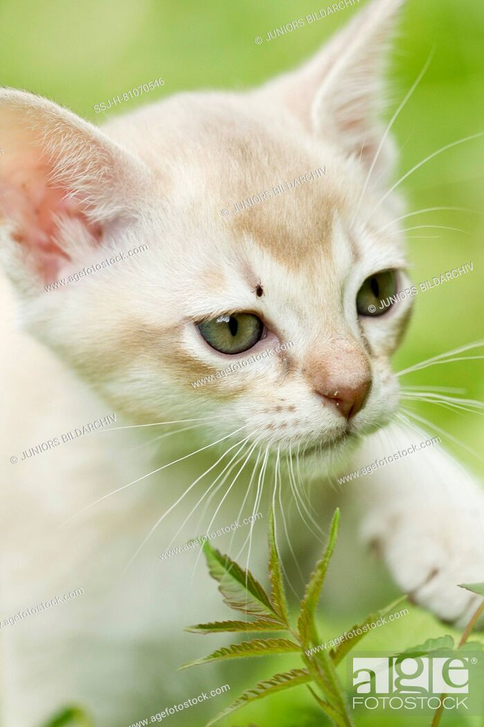 Stock Photo: Burmese cat. A kitten with a tick on its head. Germany.