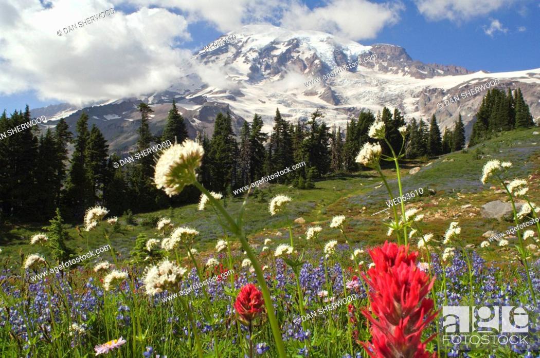 Stock Photo: Wildflowers in Mount Rainier National Park - Washington, USA.