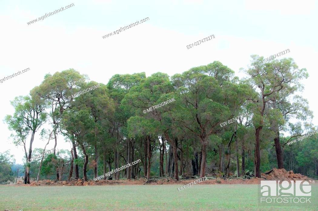 Imagen: Grove of redgum (Corymbia calophylla) and a few Jarrah (Eucalyptus marginata) trees on rocky knoll in short green pasture under glary autumn sky.