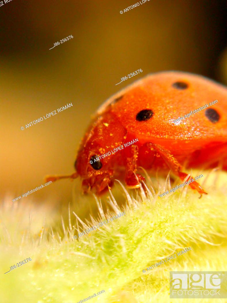Stock Photo: Ladybird beetle (Epilachna crysomelina).