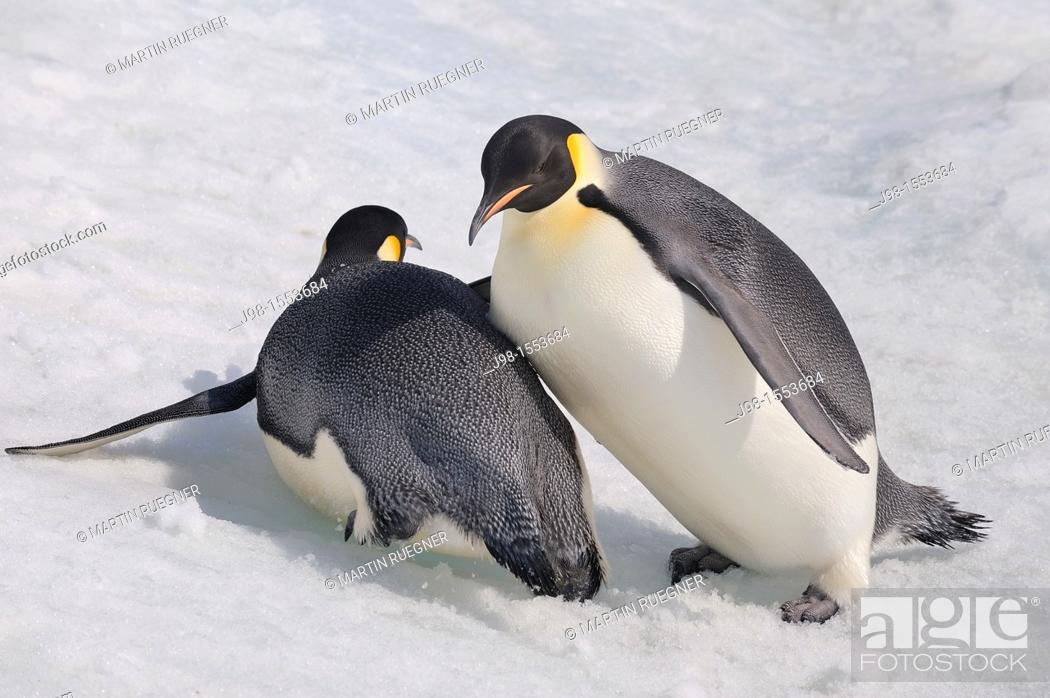 Stock Photo: Emperor Penguin Aptenodytes forsteri adult slip down a hill of snow and crashes into another  Snow Hill Island, Antarctic Peninsula, Antarctica.