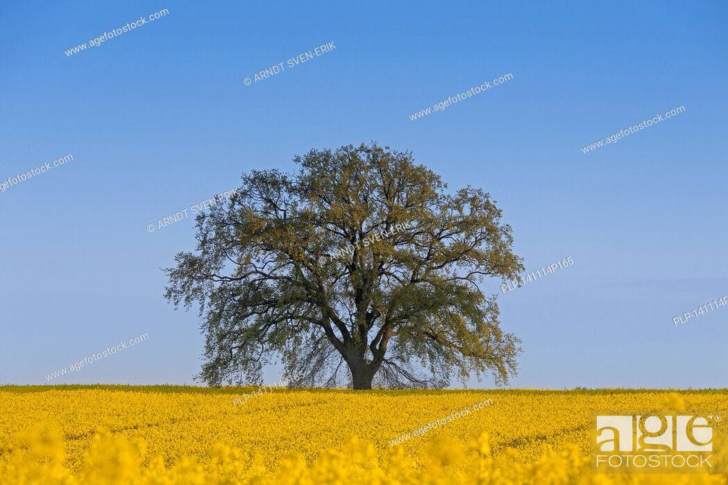 Imagen: Farmland showing rape field (Brassica napus) in flower and English oak tree (Quercus robur) in spring.