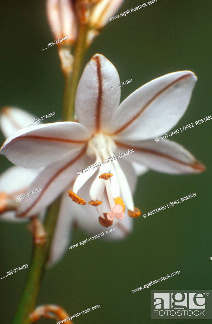 Stock Photo: Asphodelus fistulosus.