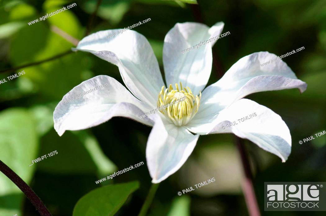 Imagen: Woodbine, Clematis virginia, A single white flower of the wild clematis.