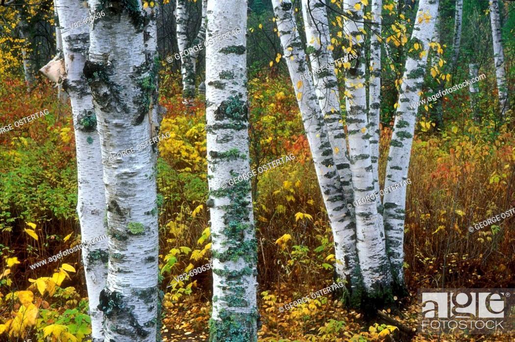 Stock Photo: Paper birch trunks (Betula papyrifera), Gooseberry Falls State Park, Minnesota, USA.