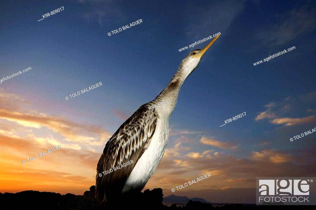 Stock Photo: Shag (Phalacrocorax aristotelis). Punta dels Fenicis, Santa Margalida, Majorca, Balearic Islands, Spain.