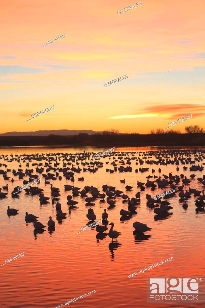 Stock Photo: Snow Geese (Chen caerulescens), Bosque del Apache National Wildlife Refuge, New Mexico, USA.