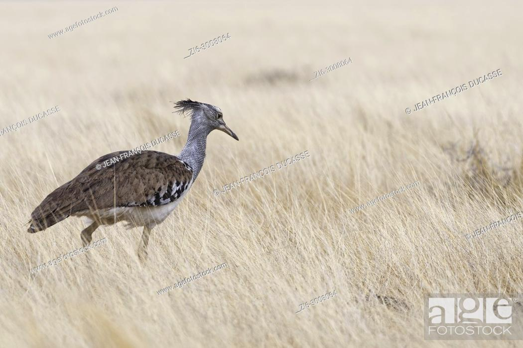 Stock Photo: Kori bustard (Ardeotis kori), looking for prey in high dry grass, Etosha National Park, Namibia, Africa.
