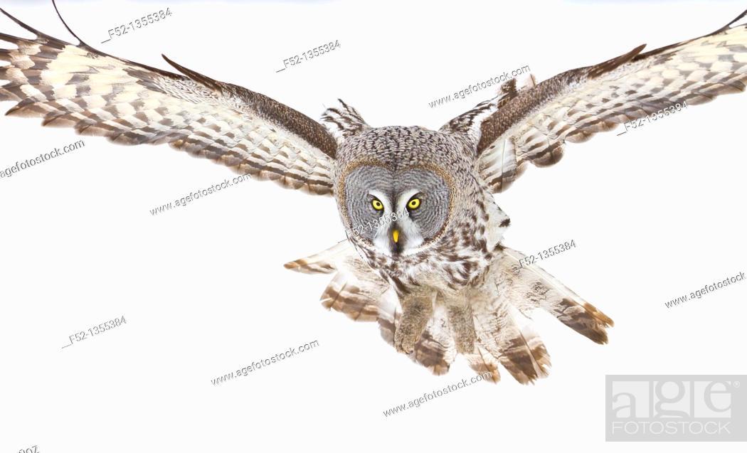 Stock Photo: Great Grey Owl (Strix nebulosa).