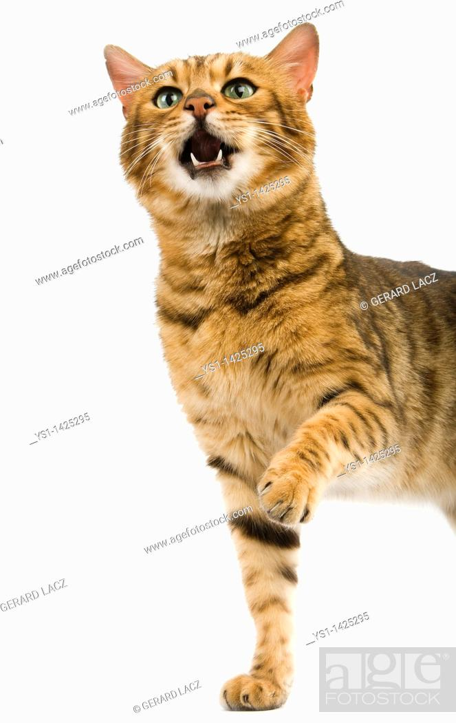 Stock Photo: BROWN SPOTTED TABBY BENGAL DOMESTIC CAT, ADULT HOLDING FRONT LEG UP.