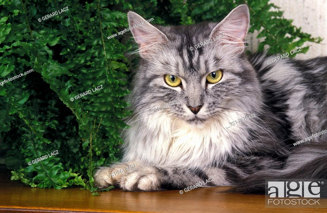 Imagen: Silver Tabby Maine Coon, Adult laying near House Plant.