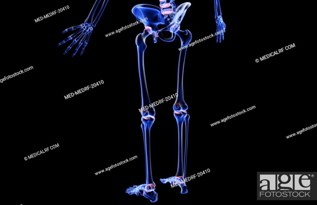 Stock Photo: The bones of the lower body.