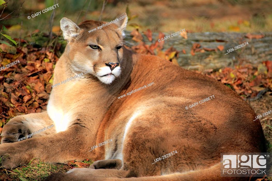 Stock Photo: A cougar or mountain lion lying on the ground.