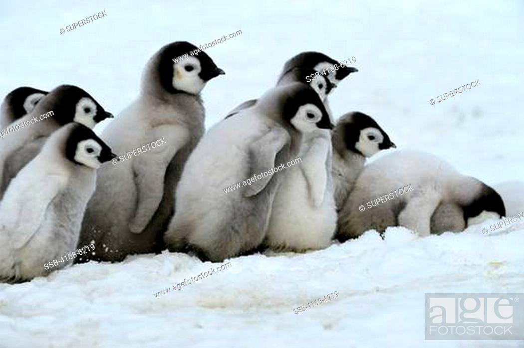 Stock Photo: ANTARCTICA, WEDDELL SEA, SNOW HILL ISLAND, EMPEROR PENGUINS Aptenodytes forsteri, GROUP OF CHICKS WALKING ON ICE BETWEEN SATTELITE COLONIES.