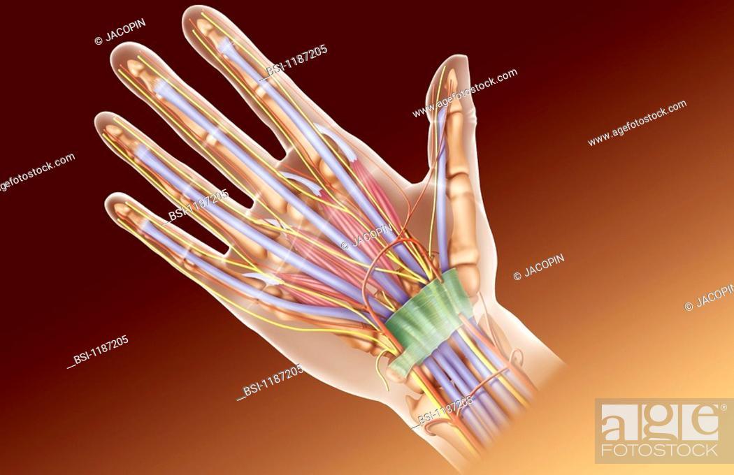 HAND, ILLUSTRATION<BR>Hand anatomy.<BR>Illustration of the anatomy ...