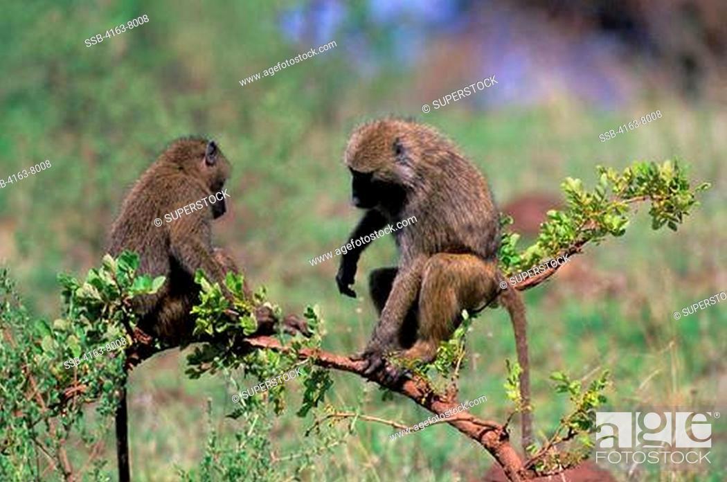 Stock Photo: TANZANIA, LAKE MANYARA, OLIVE BABOONS SITTING IN BUSH..