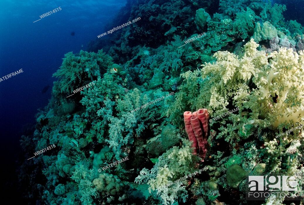 Stock Photo: Coral Reef with Soft Corals, Red Sea, Sudan.
