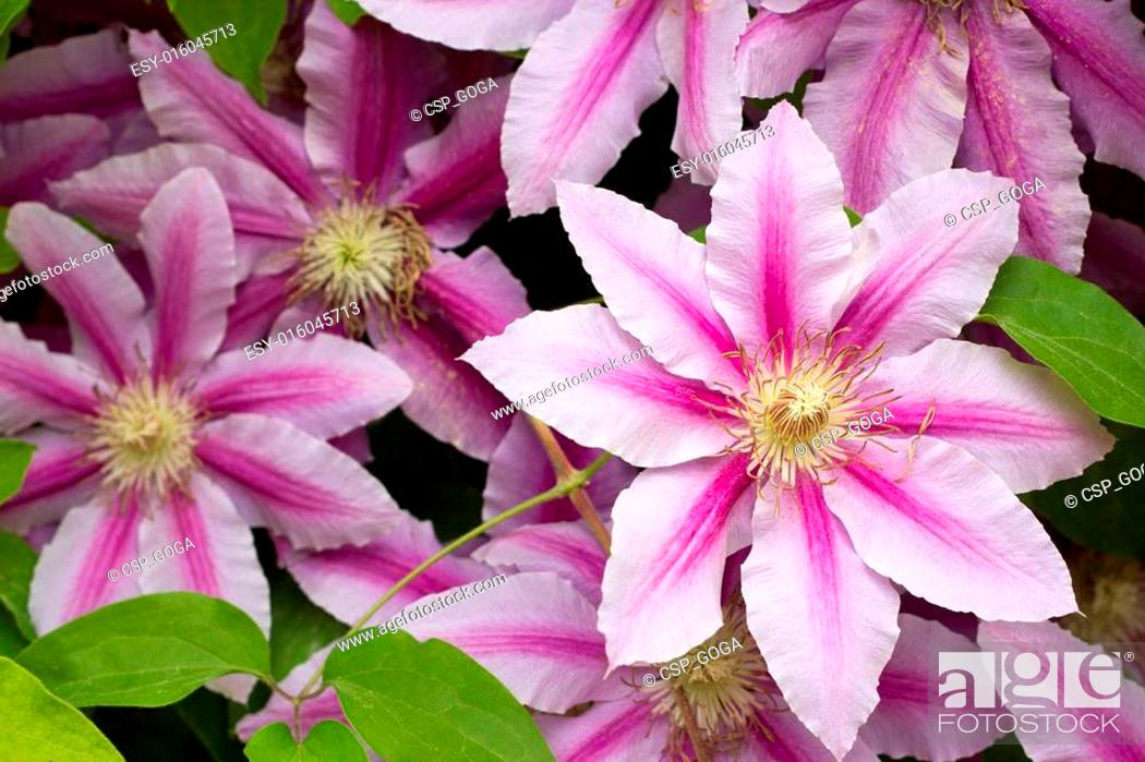 Stock Photo: Flowers of clematis over green background.