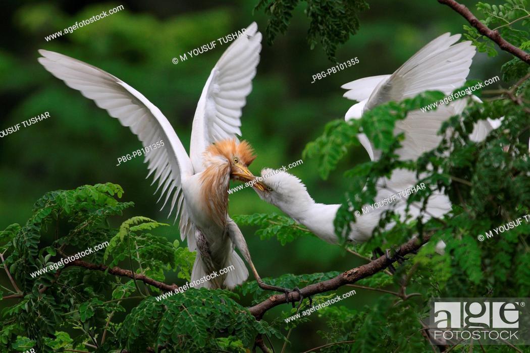 Bengali name: Gobak English name: Cattle egret Common bird