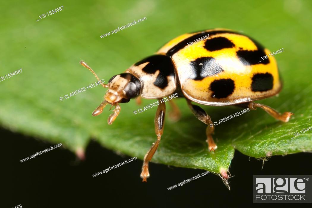Imagen: Fourteen-spotted Lady Beetle Propylea quatuordecimpunctata, West Harrison, Westchester County, New York, USA.