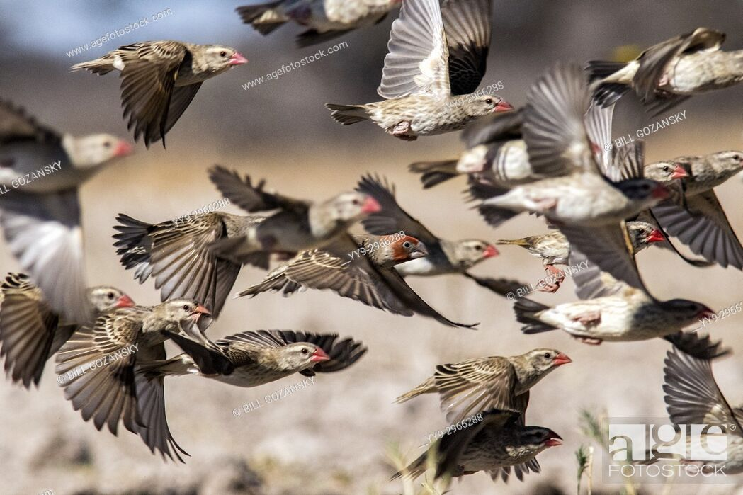 Stock Photo: Flock of red-billed quelea (Quelea quelea) in flight [motion blur]- Onkolo Hide, Onguma Game Reserve, Namibia, Africa.