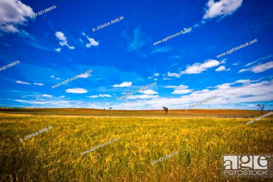 Stock Photo: Cornfield.