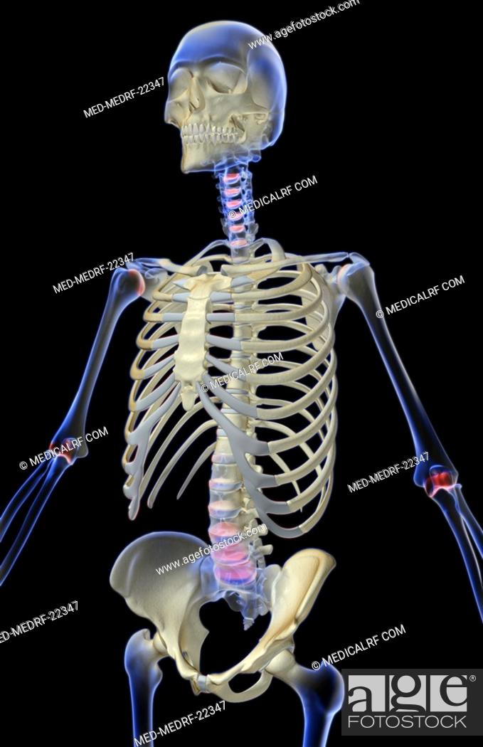 The Bones Of The Upper Body Stock Photo Picture And Royalty Free