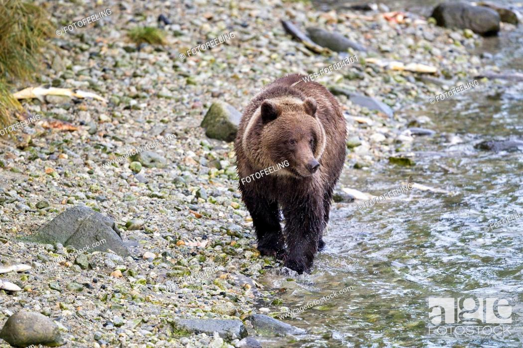 Stock Photo: USA, Alaska,Brown bear walking at Chilkoot Lake.